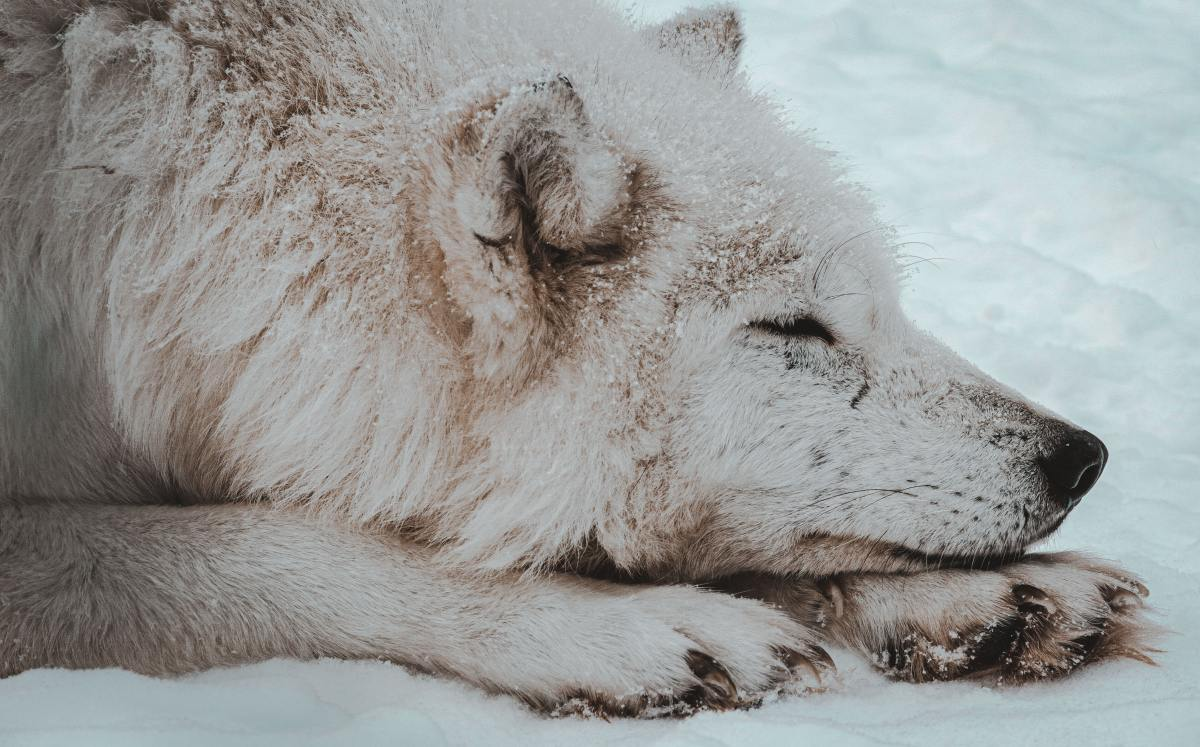 Pure wolves do not have hind dewclaws, though some wolf-dog hybrids do