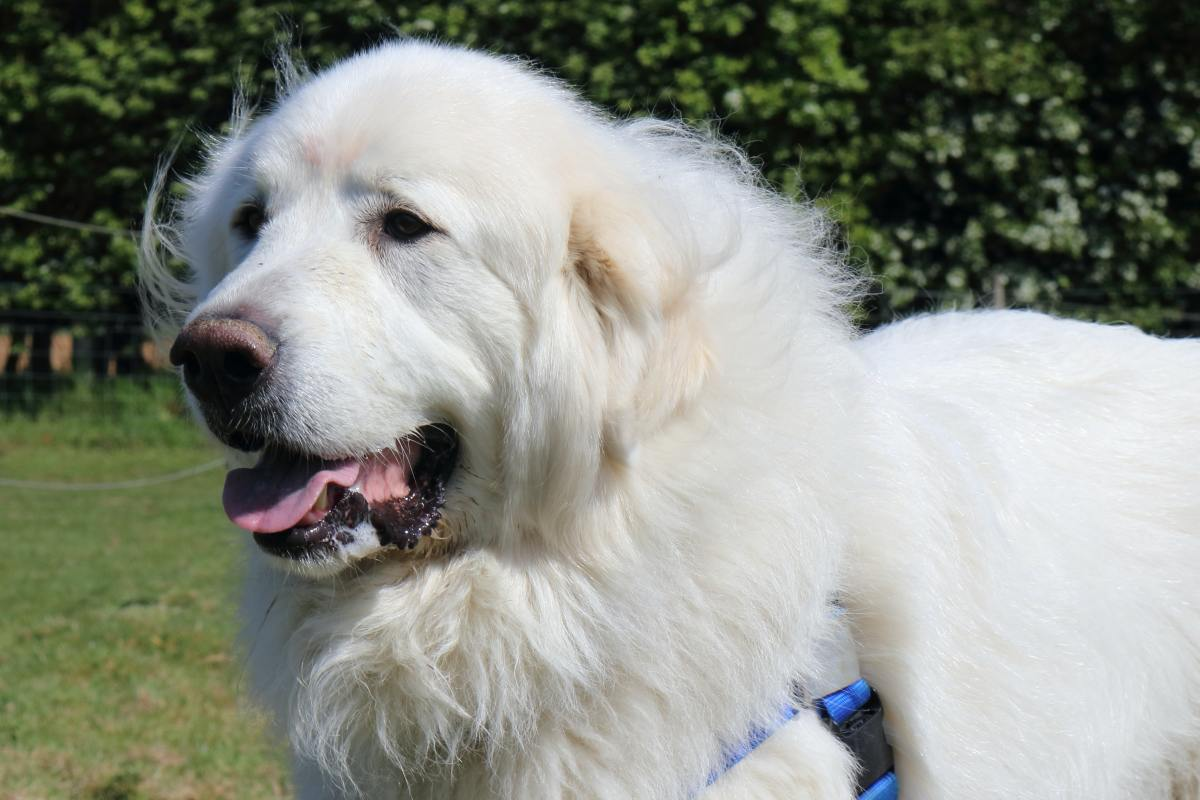 Pyrenean Mountain Dogs are one breed that should have double rear dewclaws