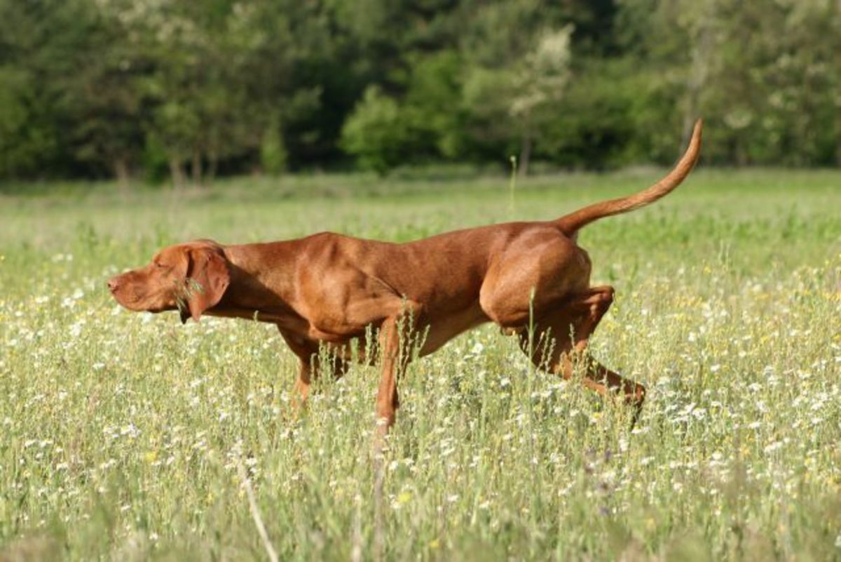 Aside from its companionship, the Vizsla makes for an excellent hunting dog with a specialization in pointing and retrieving.