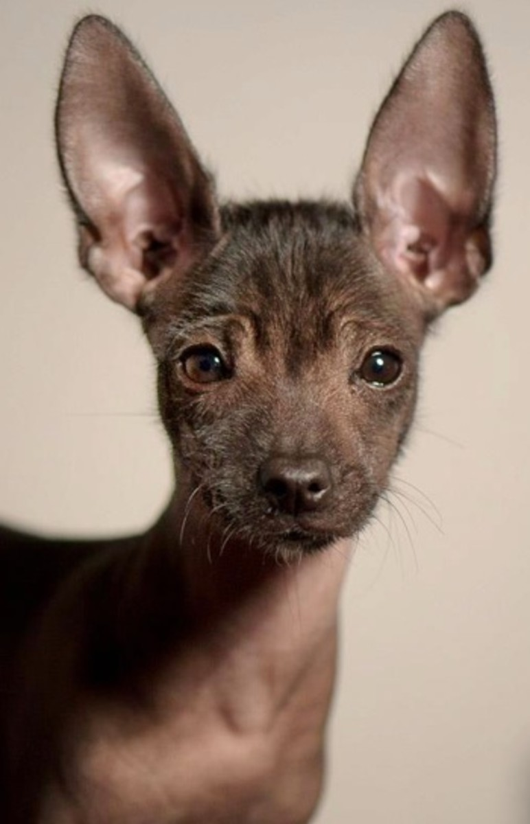 Up-close photo of the Xoloitzcuintli.  Average lifespan for this breed is an astounding 13 to 18 years.