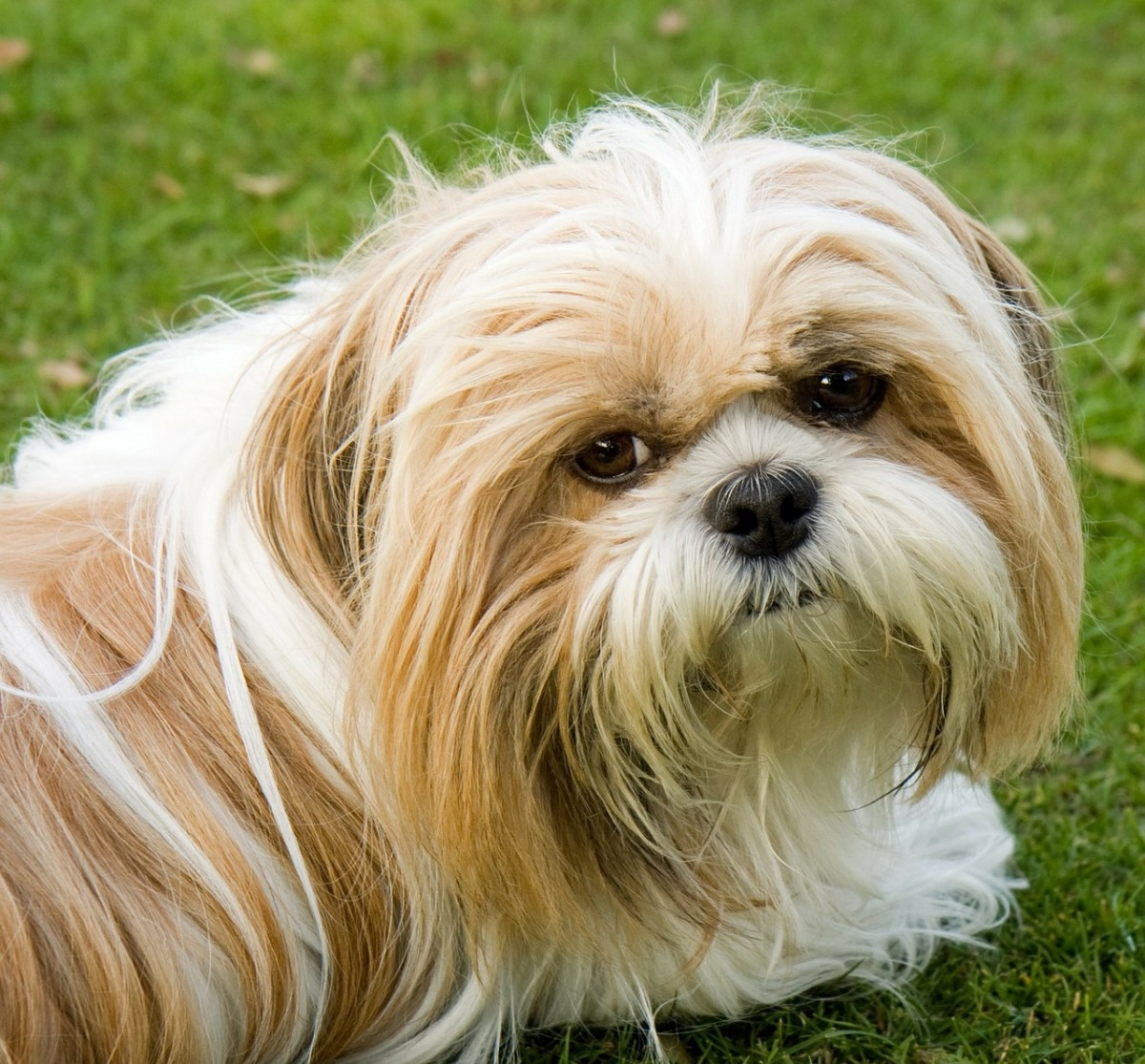 Up-close photo of the lovable Shih Tzu.  Average lifespan for this breed is 10 to 18 years.