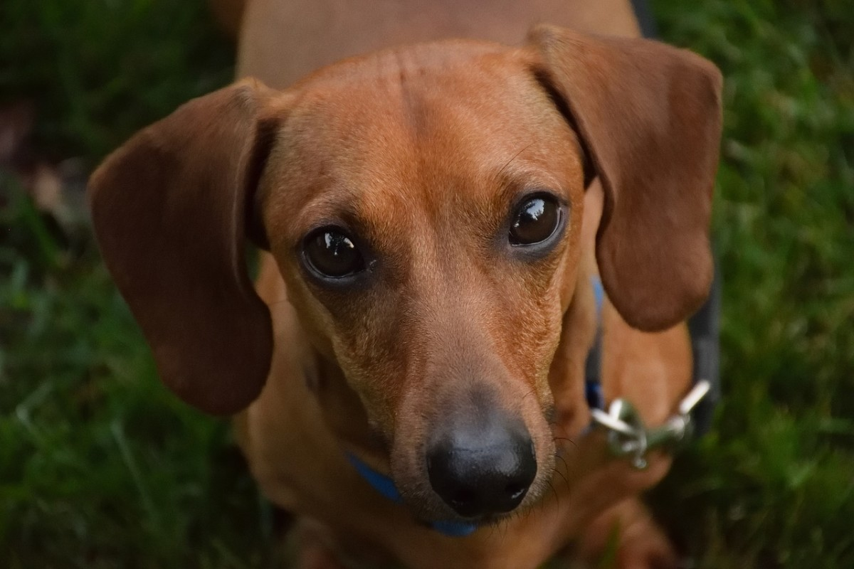 The lovable Dachshund.  On average, this breed lives approximately 12 to 16 years.