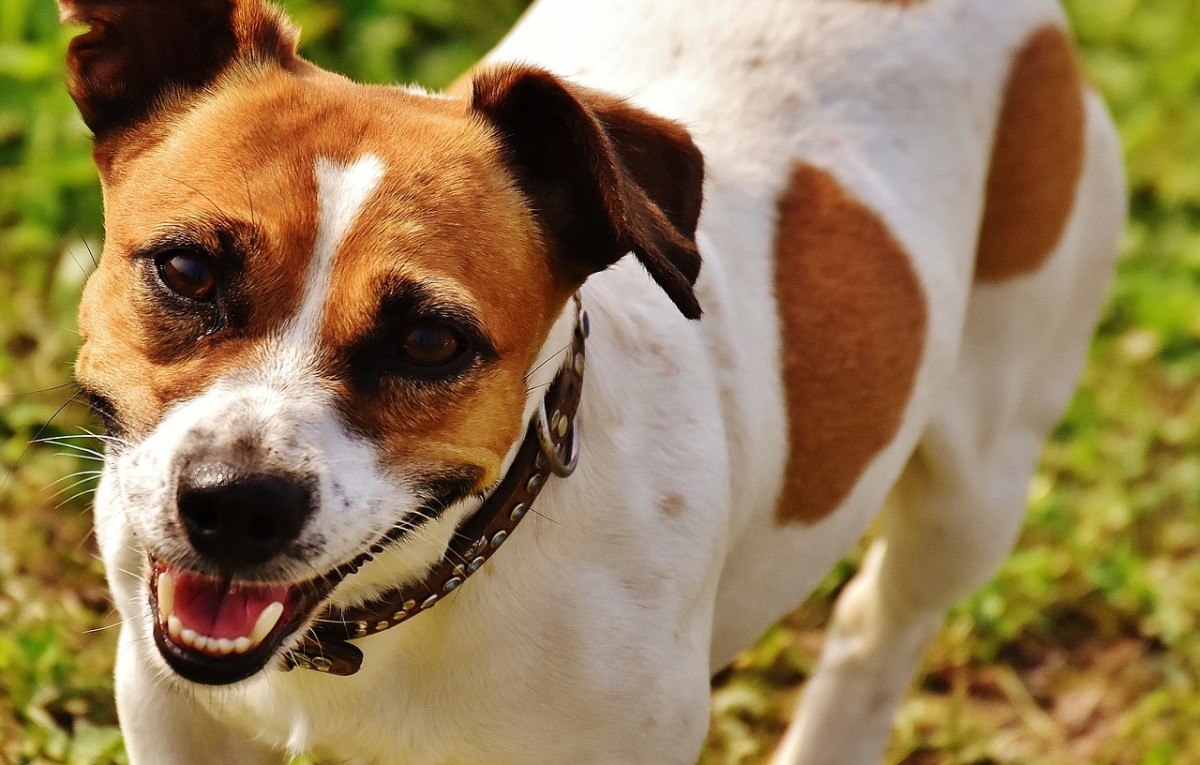 Adorable Jack Russell Terrier.  Average lifespan for this breed is 13 to 16 years.