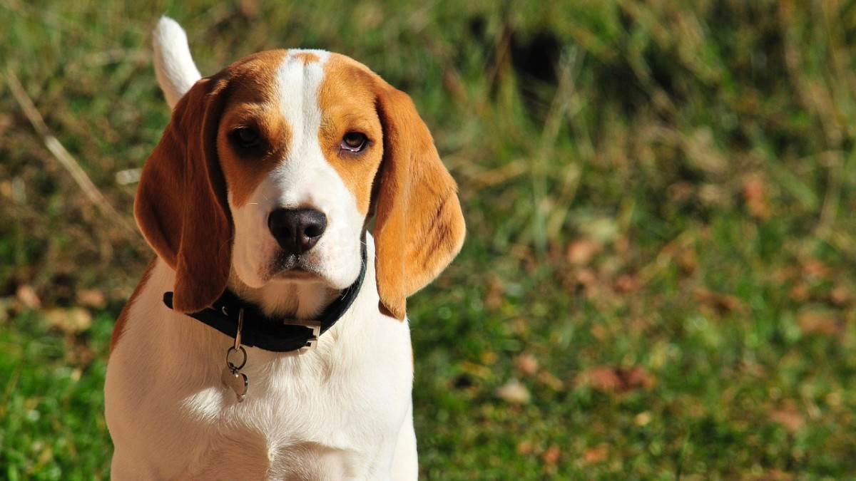 Beagle puppy posing for the camera. On average, this breed lives approximately 12 to 15 years.