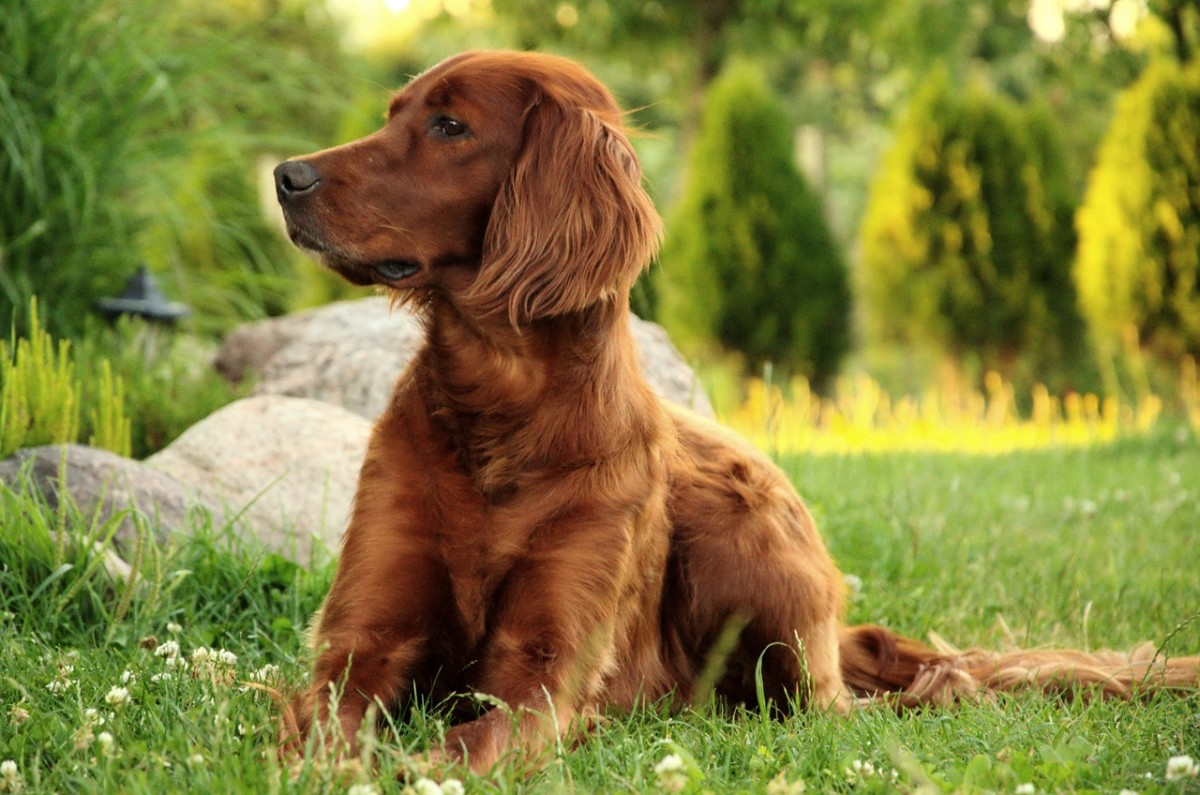 A beautiful Irish Setter lounging in the grass.
