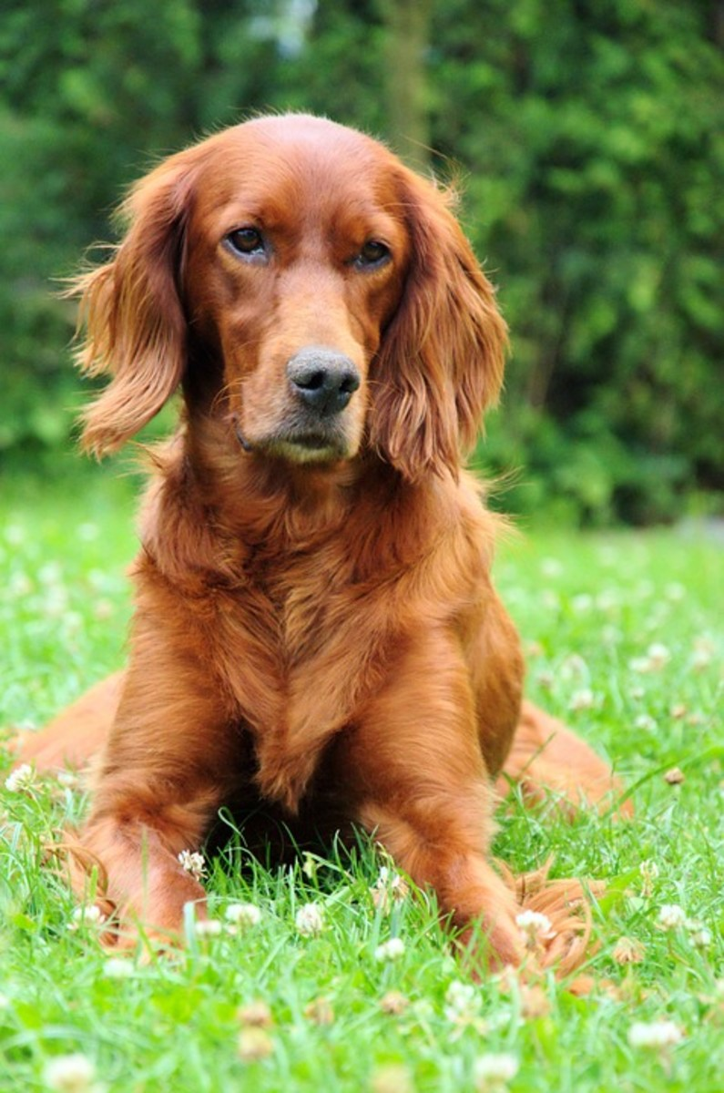 Irish Setter posing for the camera.