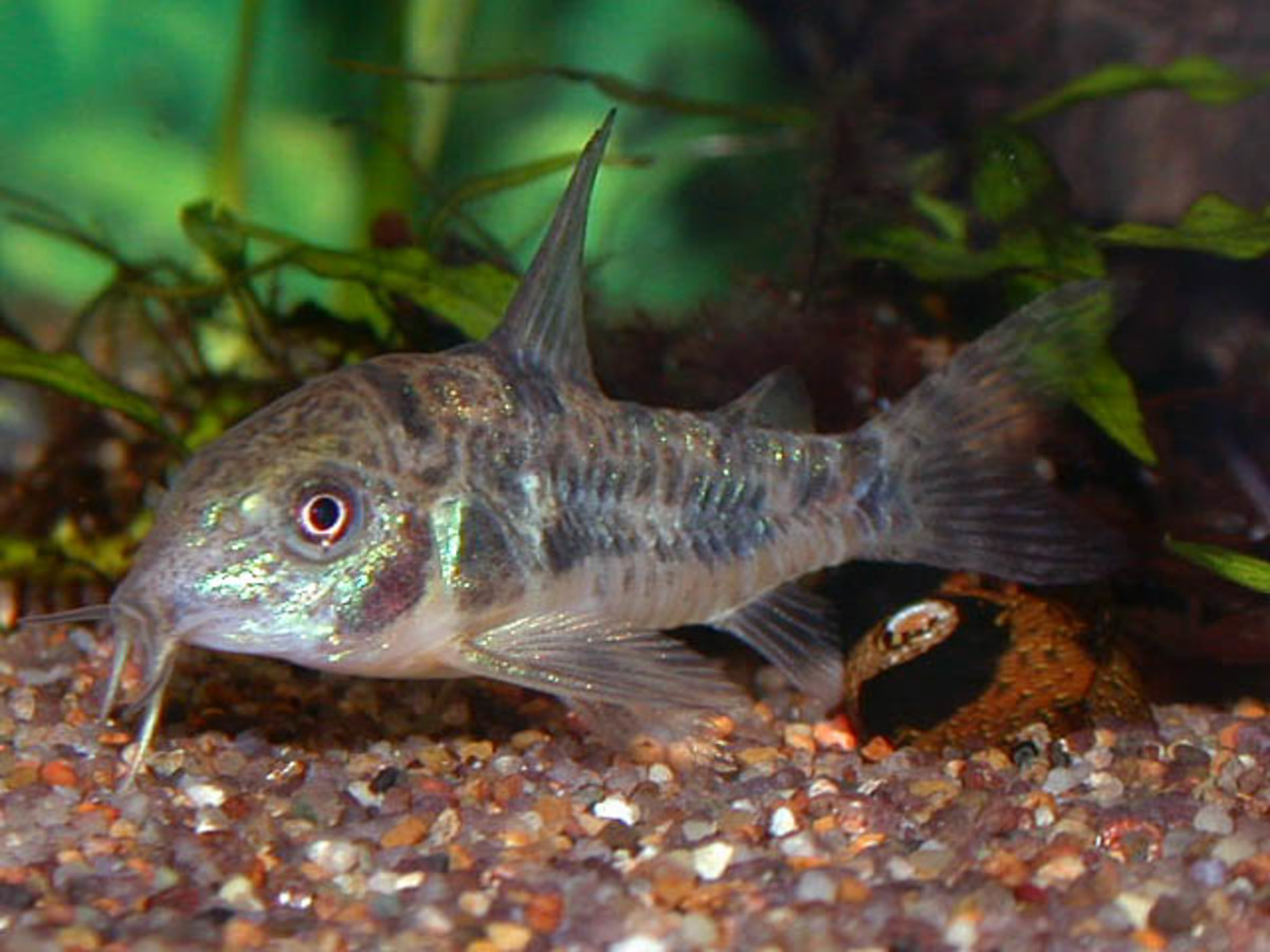 Cories are hardy and easy for beginners to care for.