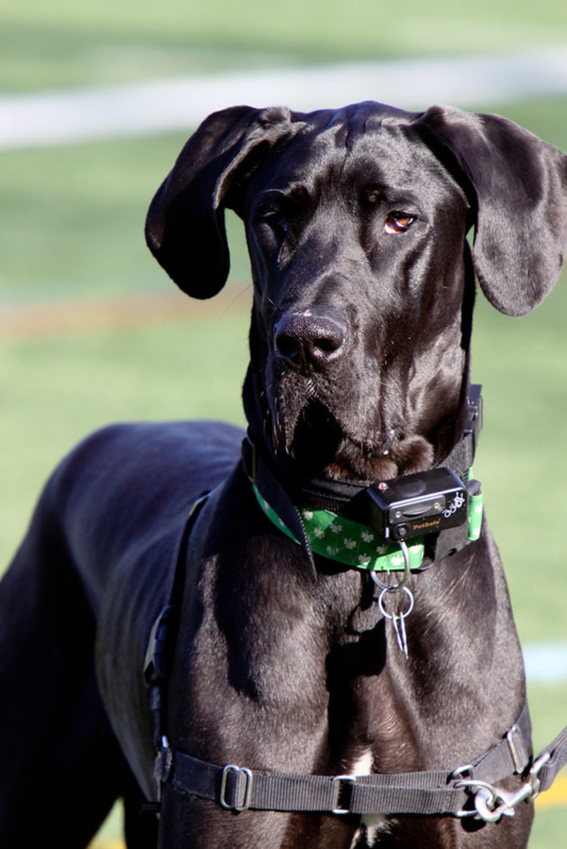 Great Danes can appear fierce but they usually are not.