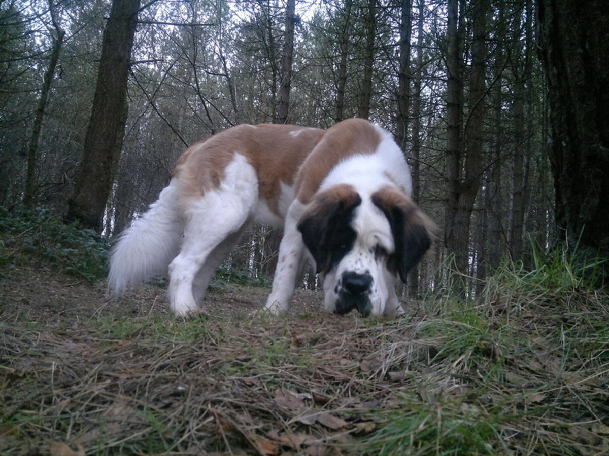 Although the Saint Bernard has the reputaion of being lazy, he can also serve as a guard.