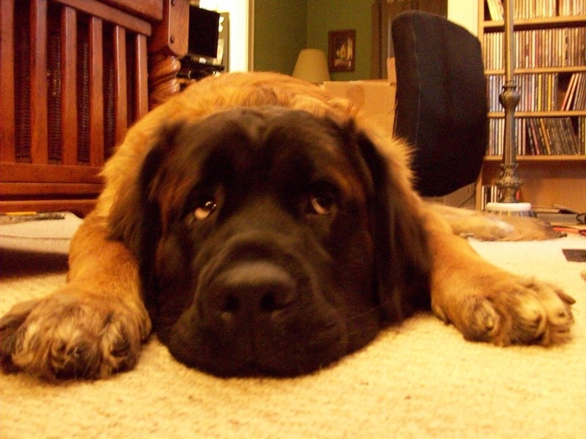 The Leonberger does not drool as much as many giant dogs.