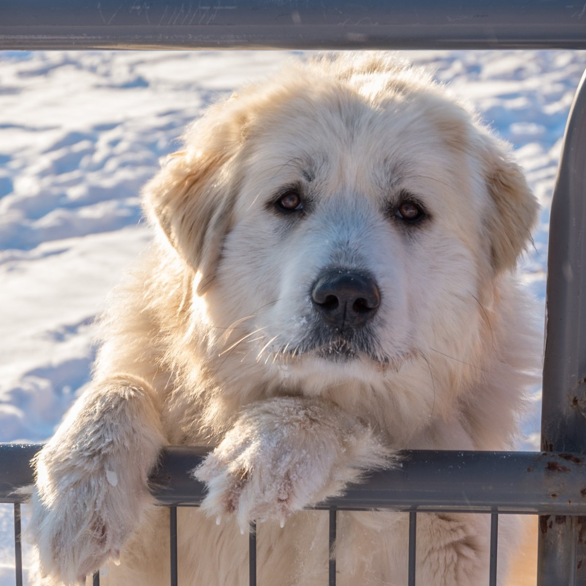 The Great Pyrenees is docile but barks at strangers.