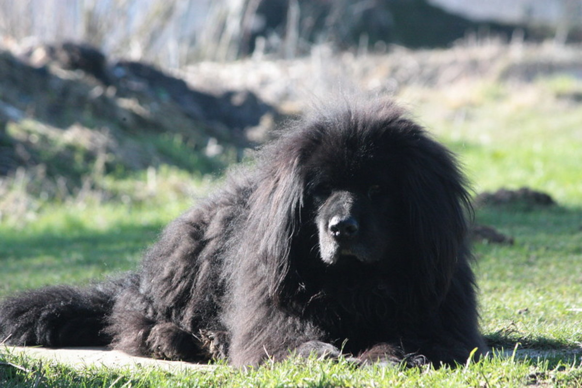 The Newfoundland is almost always docile but can look like a guard.