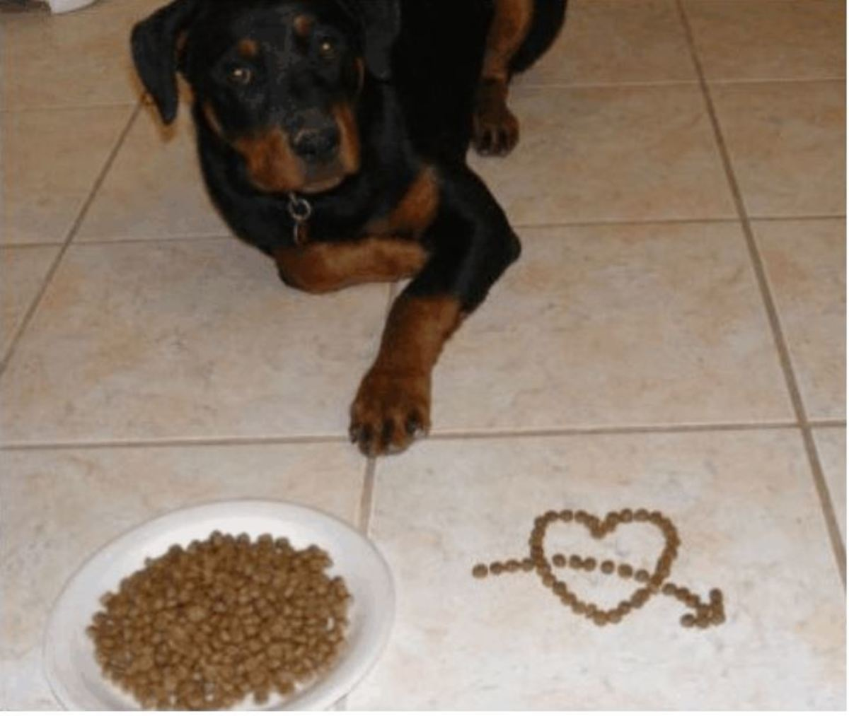 My Rottweiler politely waiting to be released to eat her meal.