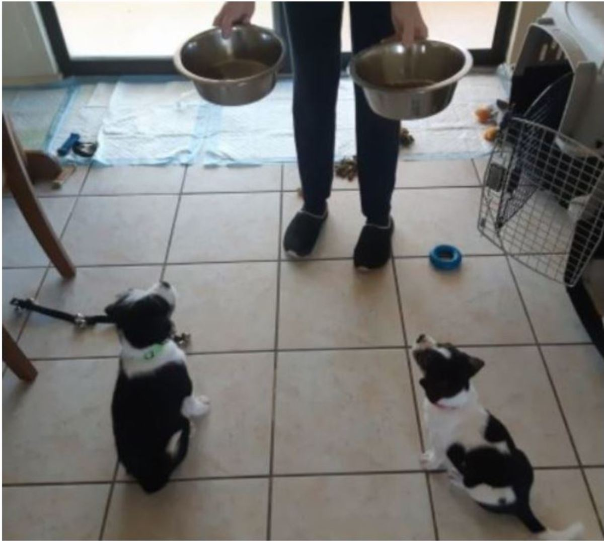 Two 8-week old puppies learning to sit before their bowls are placed on the floor.
