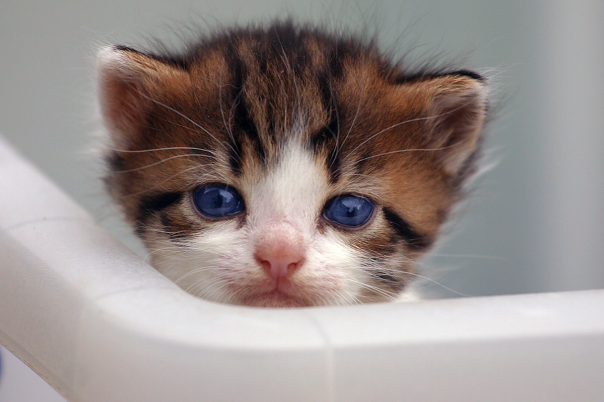 Kittens are born with beautiful blue eyes!