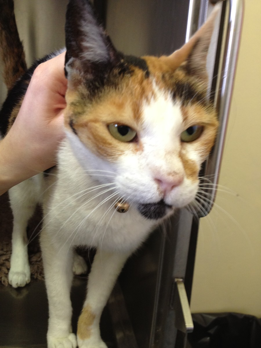 A cat after recovering from a Cryptococcus infection with permanent deformity of nose.
