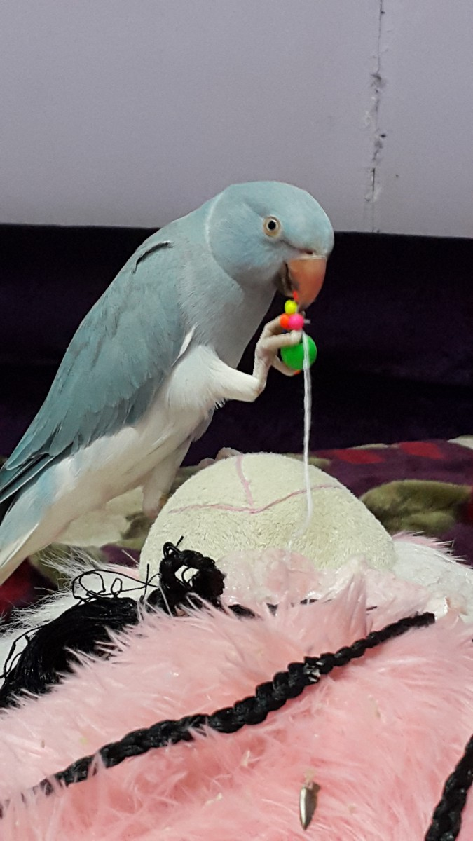 Give your parrots toys to play with. This will keep him/her mentally stimulated and will prevent boredom and excessive screaming.