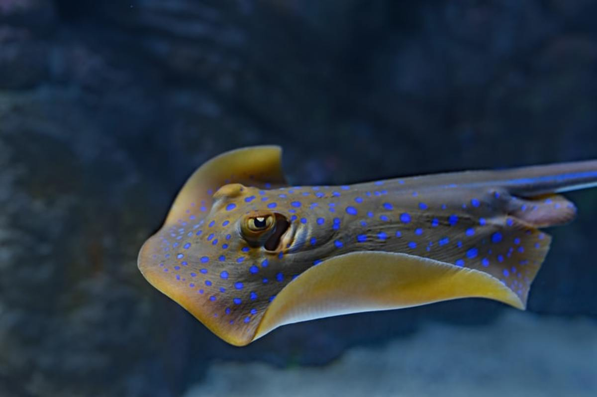 Stingrays are an impressive addition to a large home marine aquarium, although they are not considered to be a species for novice owners.