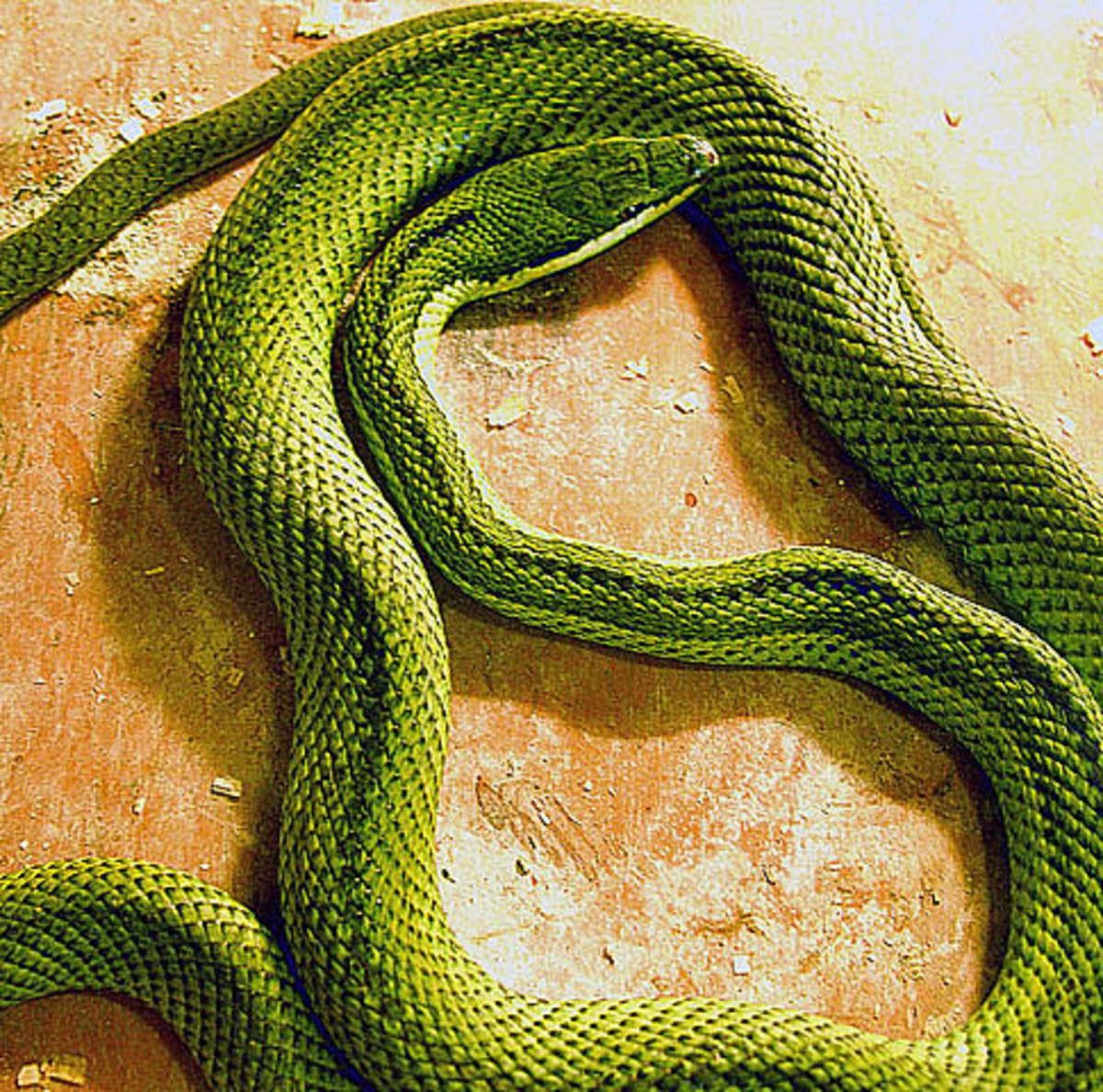 Hognose snakes rarely bite, but there are some bite incidents where edema, redness, blister formation, and cellulitis were reported.