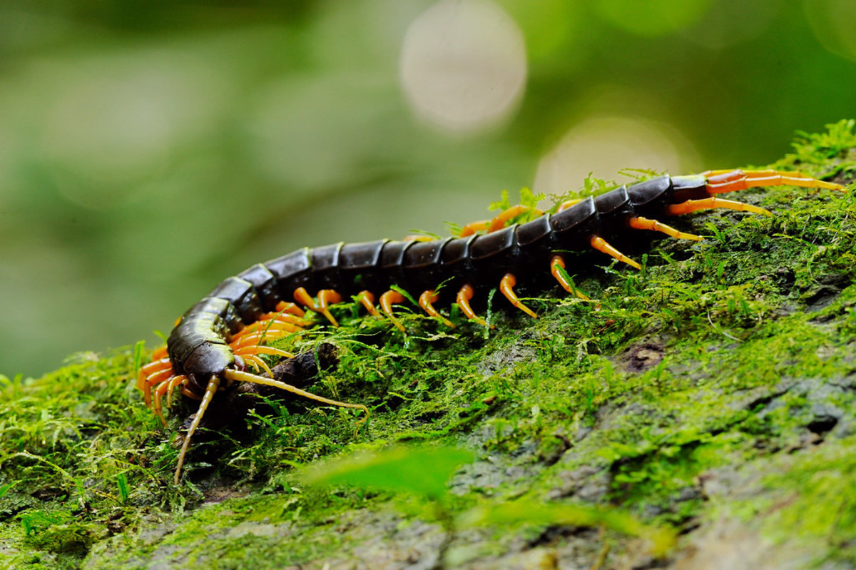 Giant centipedes are kept as pets by arthropod enthusiasts despite their apparent painful bites.