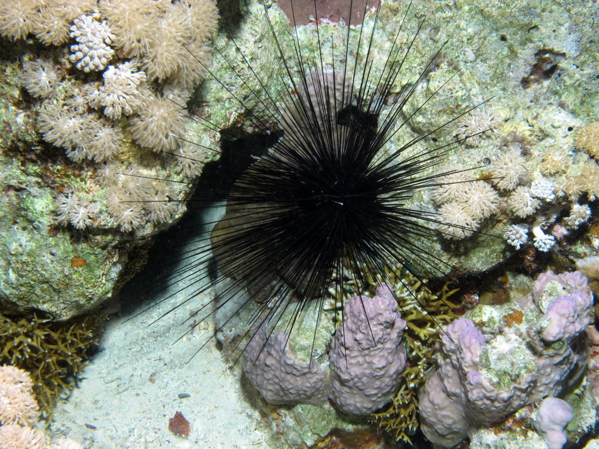 Despite their prickly appearance, not all sea urchins can harm humans. There are some exceptions, however.