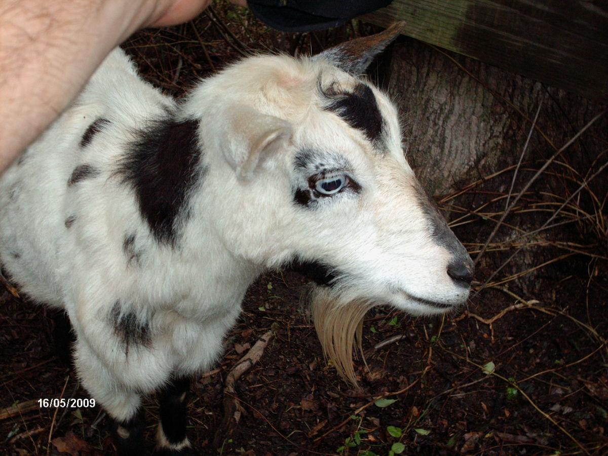 Blue-eyed goat.