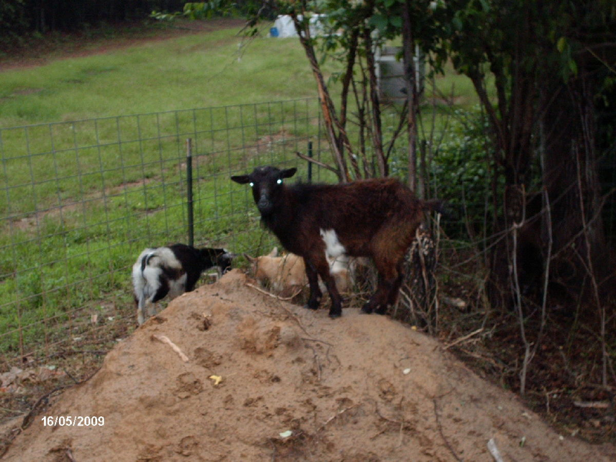 Goats love to climb and play king of the mountain.