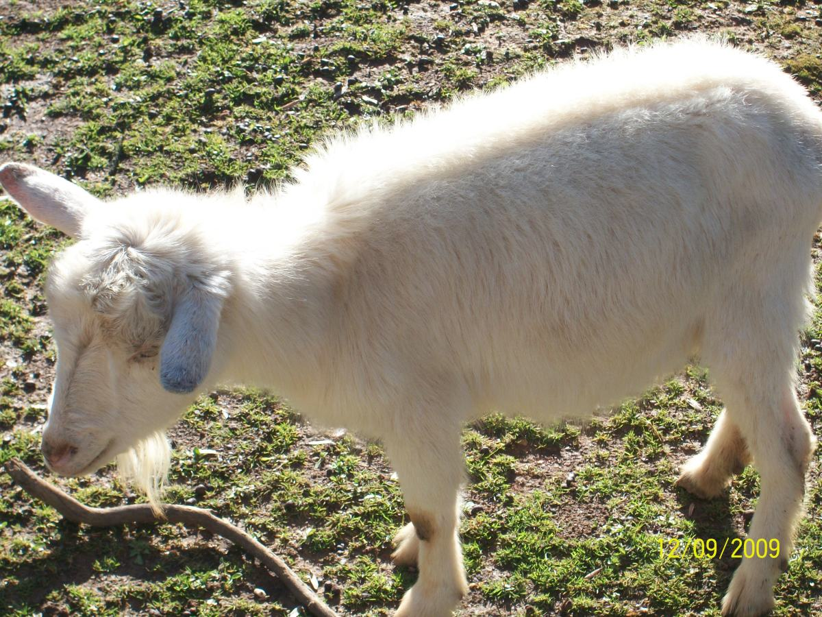 A young white Nigerian Dwarf goat in pasture.