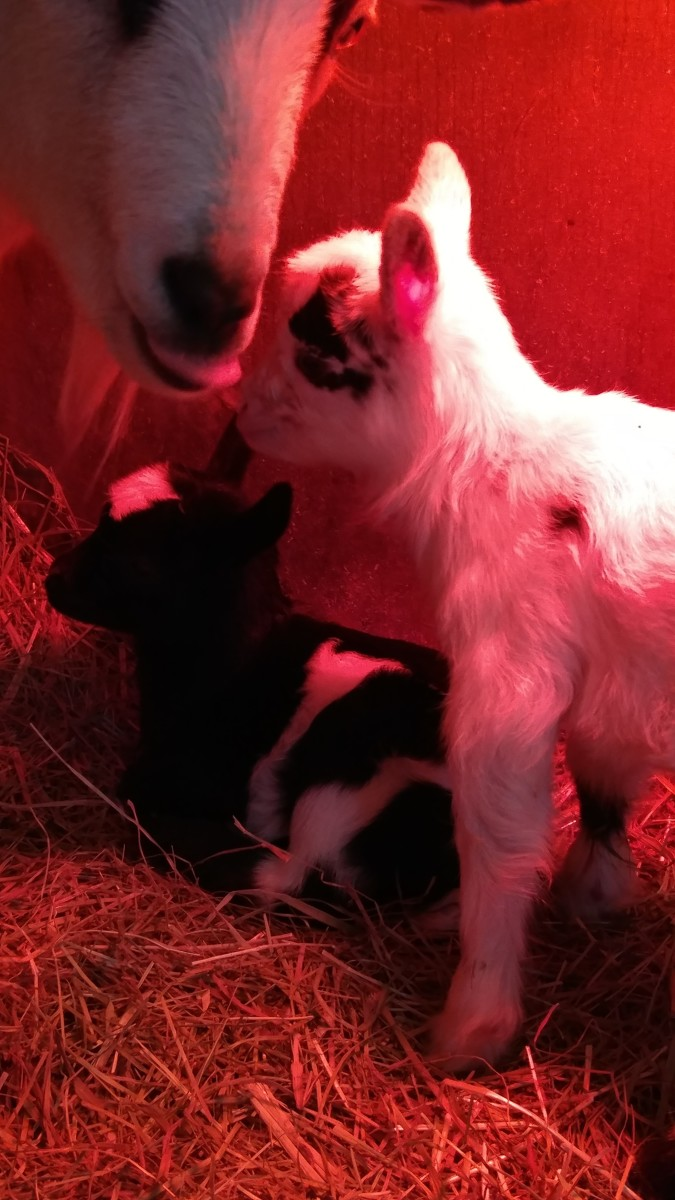 Cookie and her two babies, Lucky and Charm, born on St.Patrick's Day. In their own special baby goat nursery complete with heat lamp. Cookie raised these two and since she was such a sweet goat they too turned out really great.