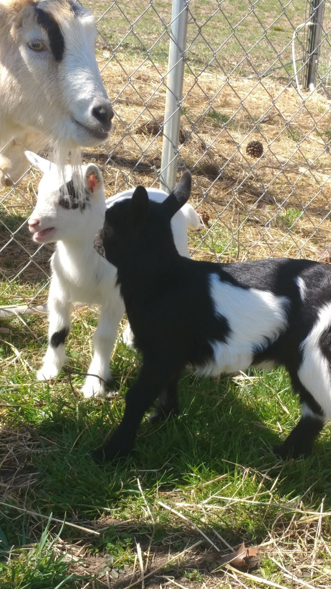 Lucky and Charm their first time outside.