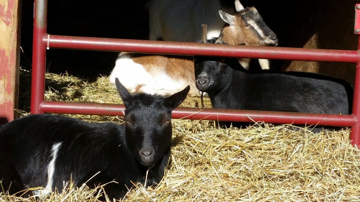 The two black goats, June and Carter, I got as weaned babies, one turned out super friendly, the other sweet but skittish. The brown and white one in the back was not a bottle-baby and he is only interested in people when there is food involved.