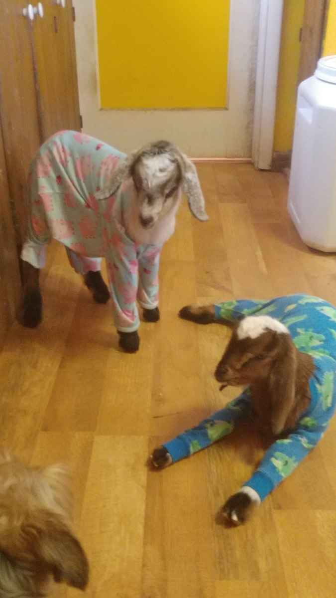 Cain and Mabel in their pajamas, they were house goats as babies (obviously !)