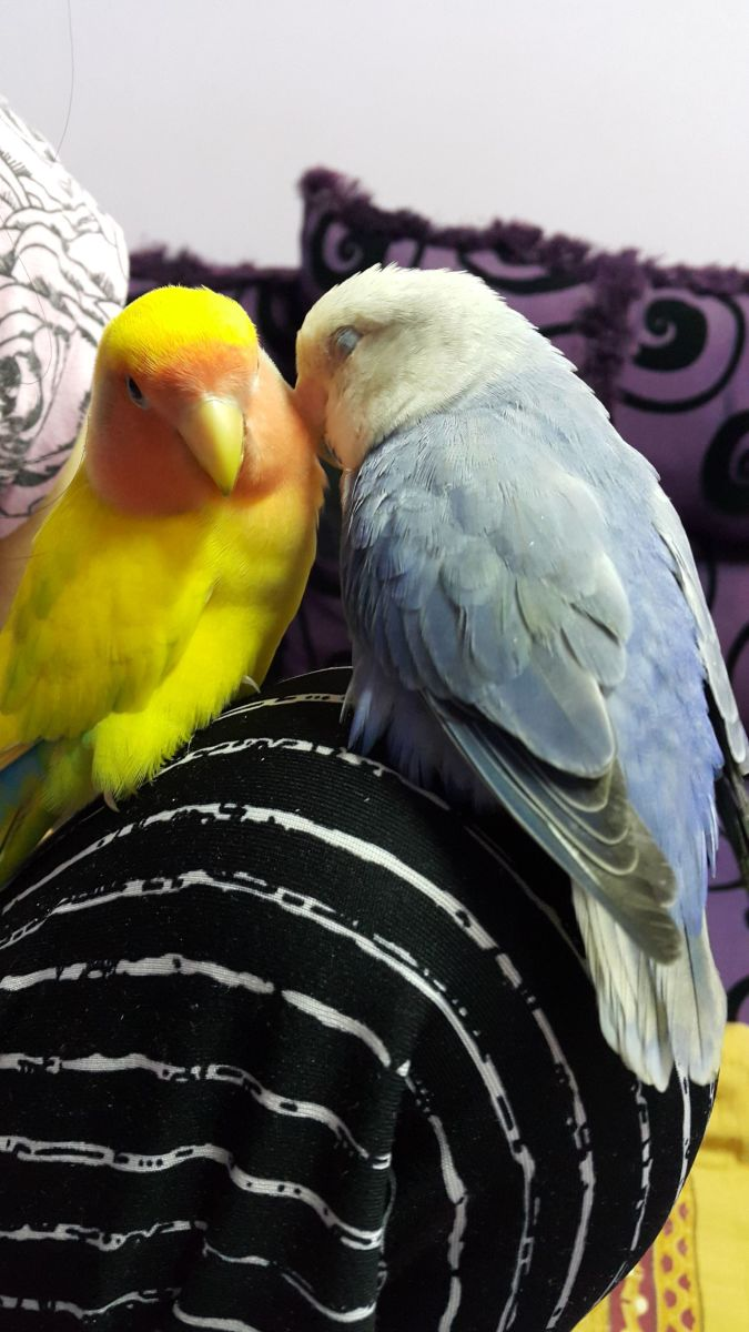 My male lovebird, Mumu was very supportive during this tough time.