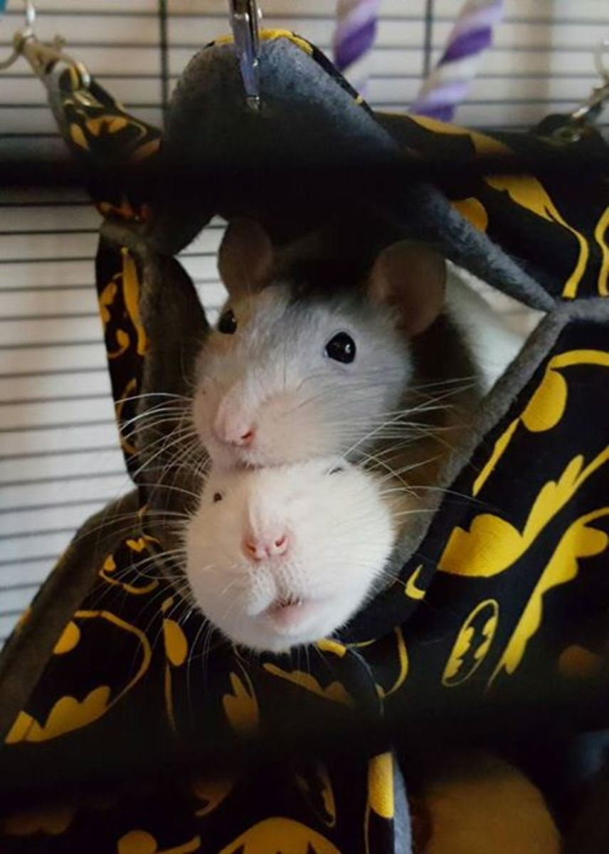 My two late rats, Feynman (top) and Chadwick