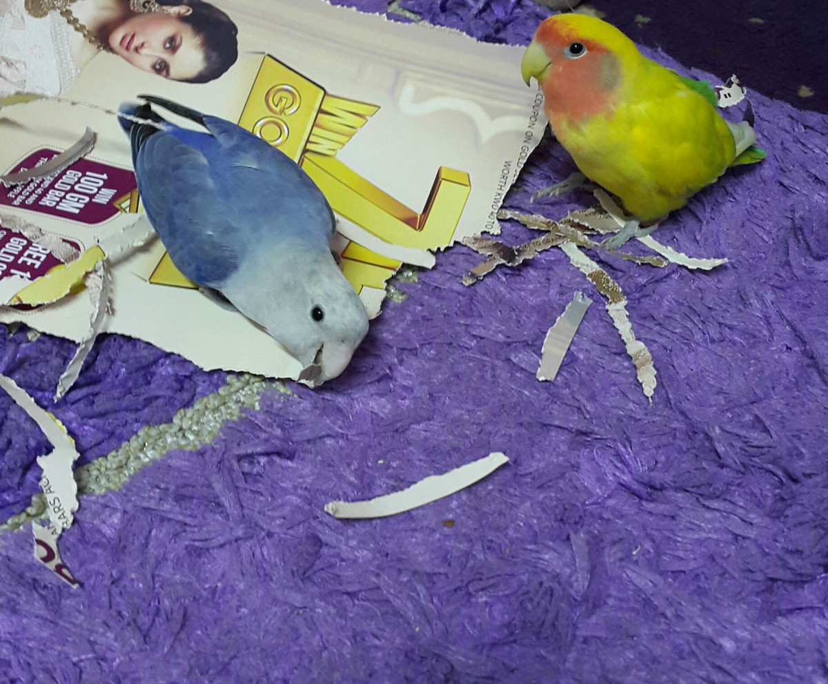 Lovebirds playing with paper.