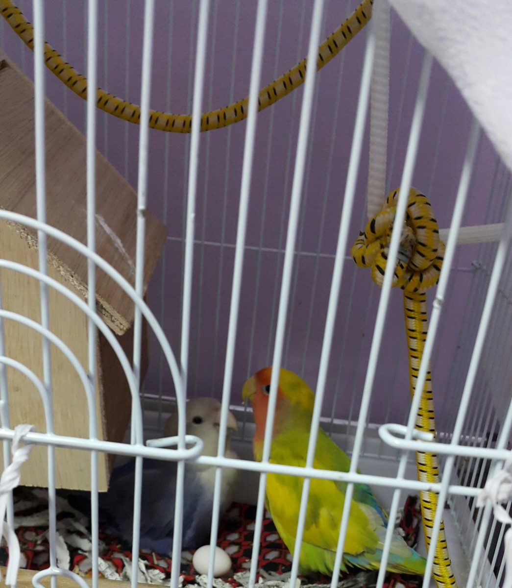 Lovebirds may get cautious (when their chick is born) when we come closer to their cage.