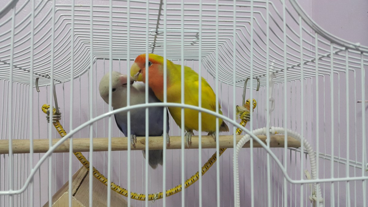 My lovebird. Mumu feeding his mate, Lulu by regurgitation.