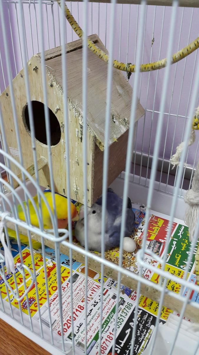 Lovebird, Lulu incubating her eggs.