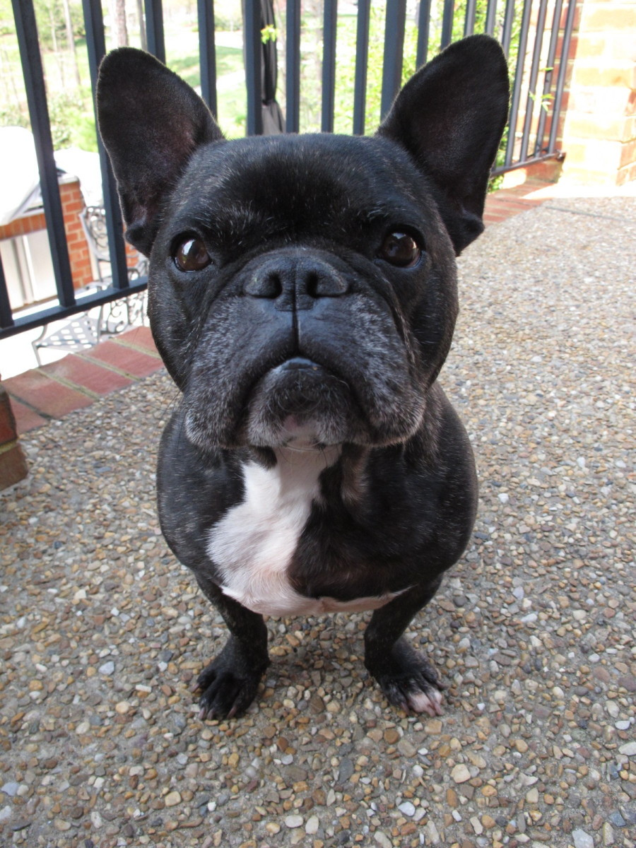 Choosing, Raising and Caring for a French Bulldog