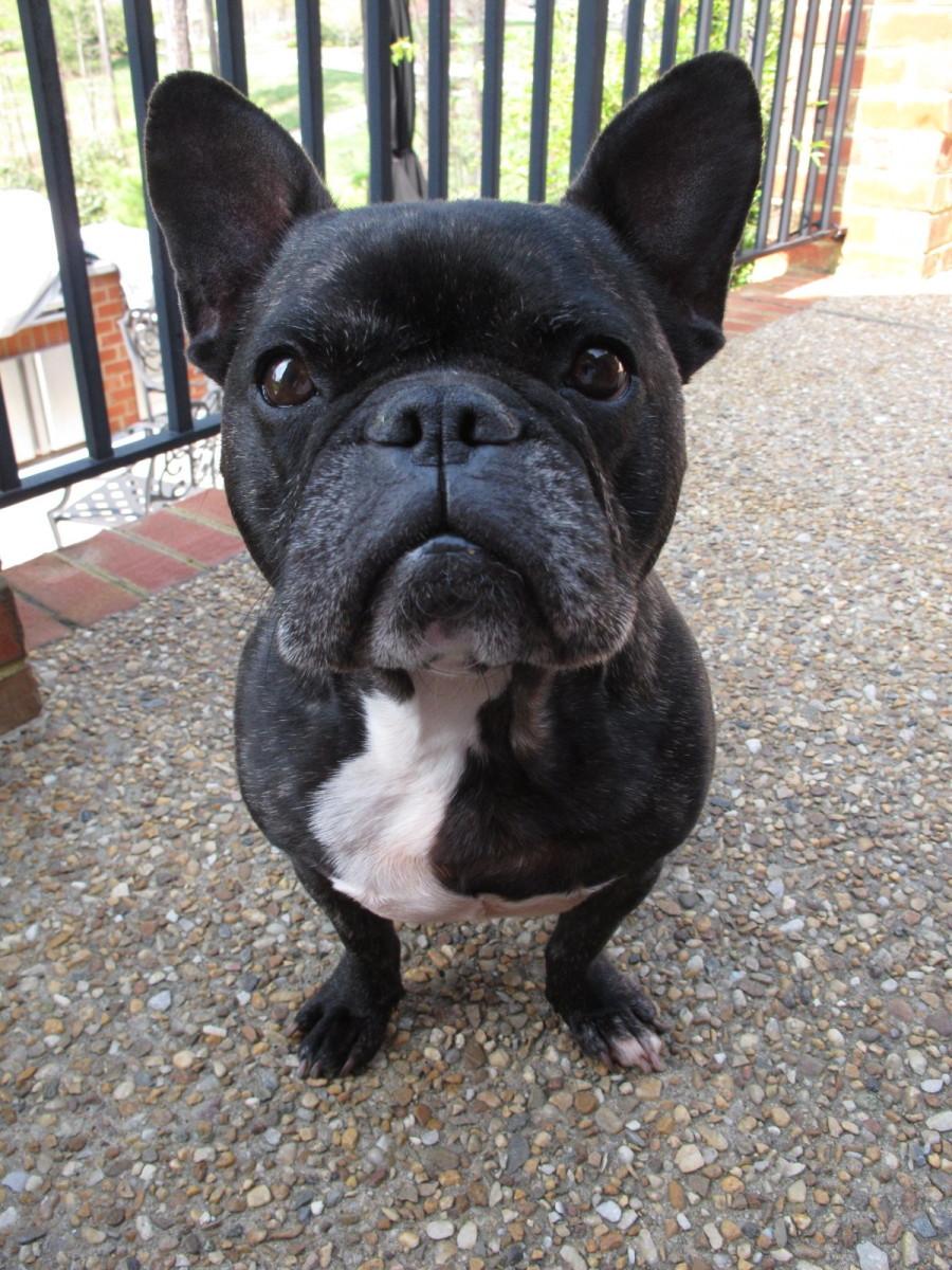 choosing-raising-and-caring-for-a-french-bulldog