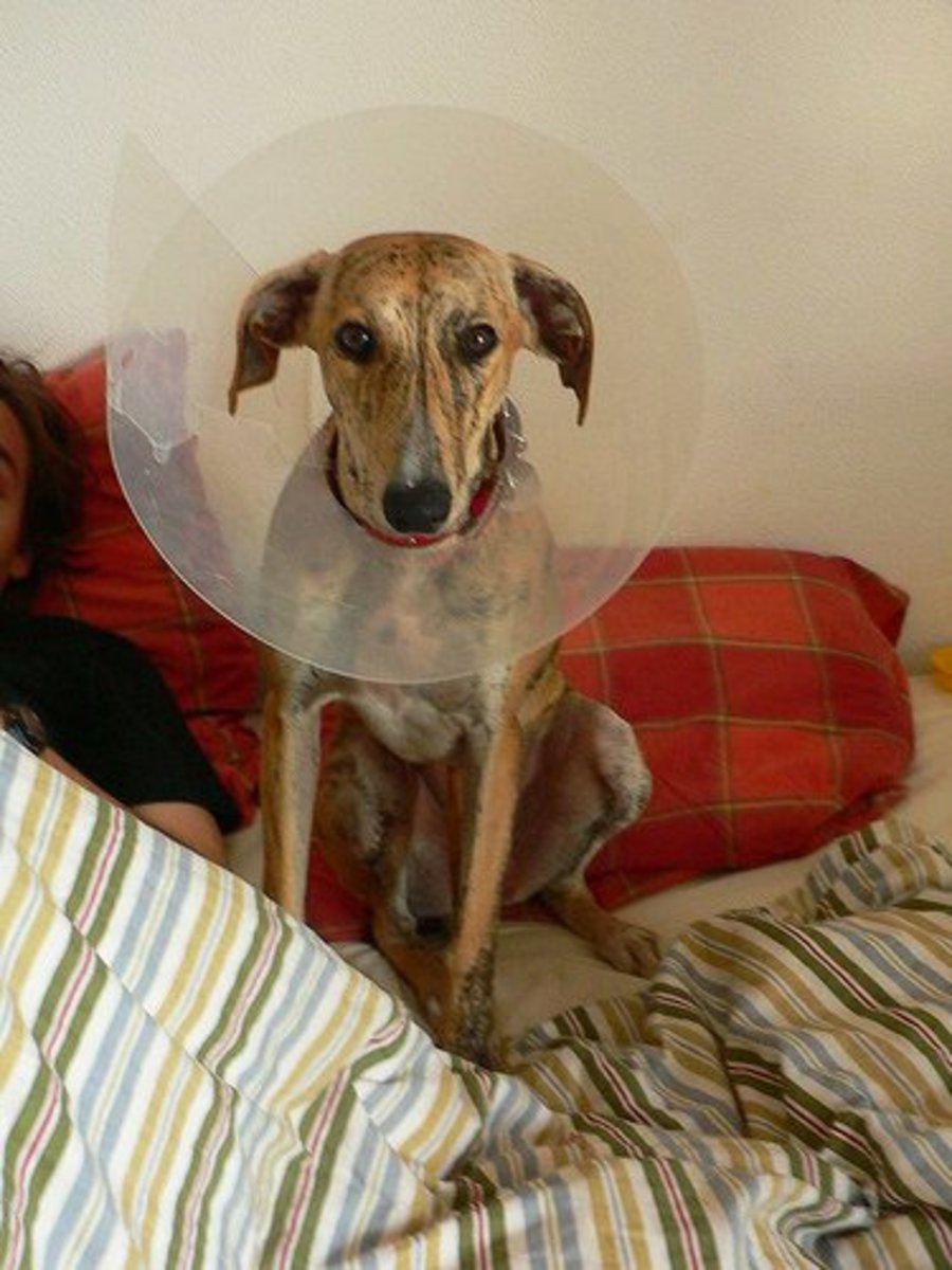 If you take her in to your vet for further care, she will probably wear a collar so that she cannot chew on her wound.