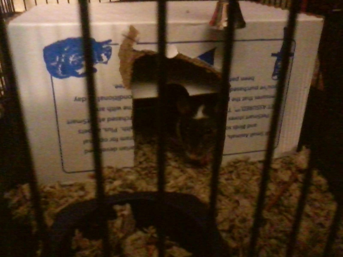We put Gadget - the newcomer - in a temporary cage while she bonded with Patches.
