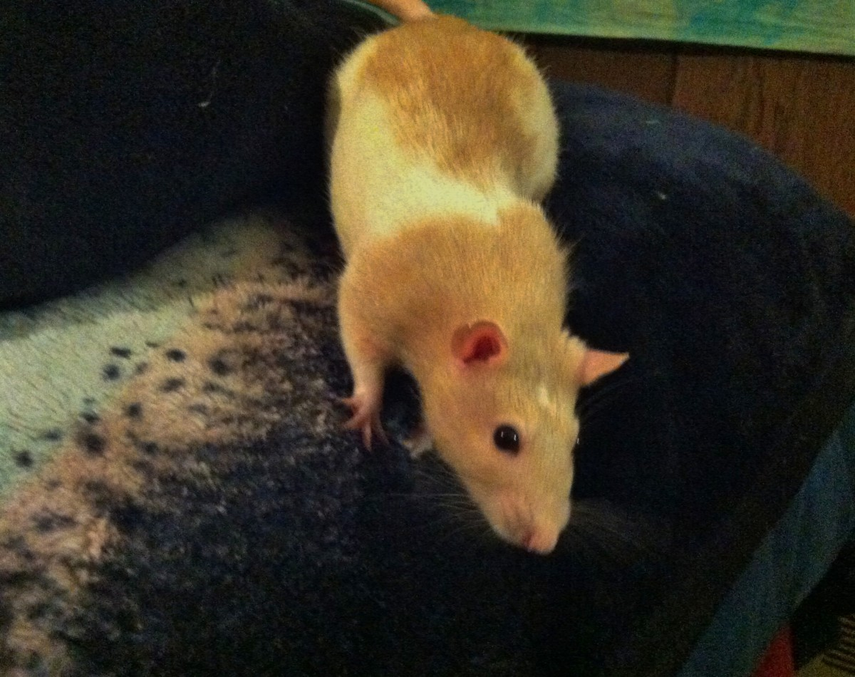 We introduced Patches - the resident rat - to a new rat so she wouldn't be lonely.