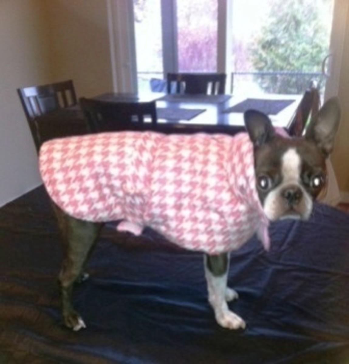 A proper fitting dog coat for this Boston Terrier.
