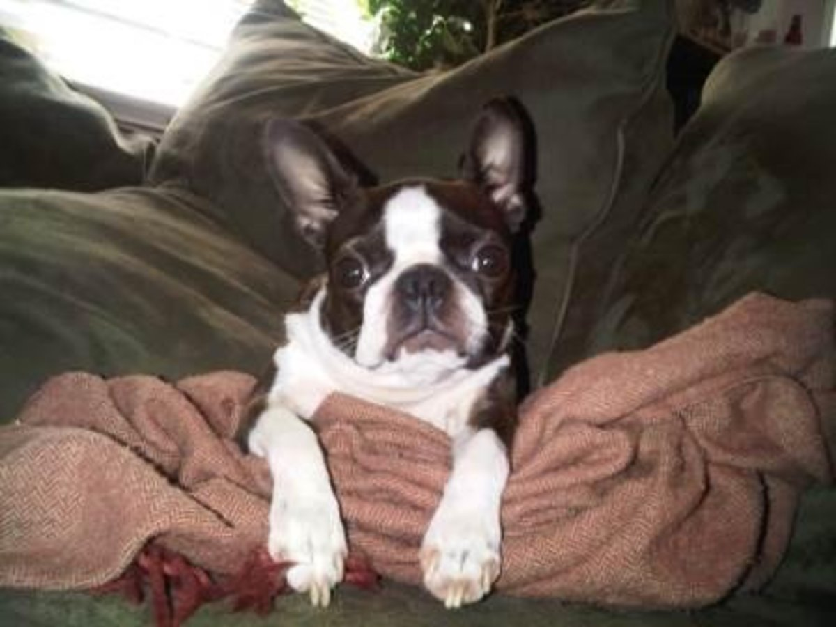 Juno, our patient model is relaxing with her blanket after the photo shoot. It takes a lot of energy for a Boston terrier to stand still for so long!