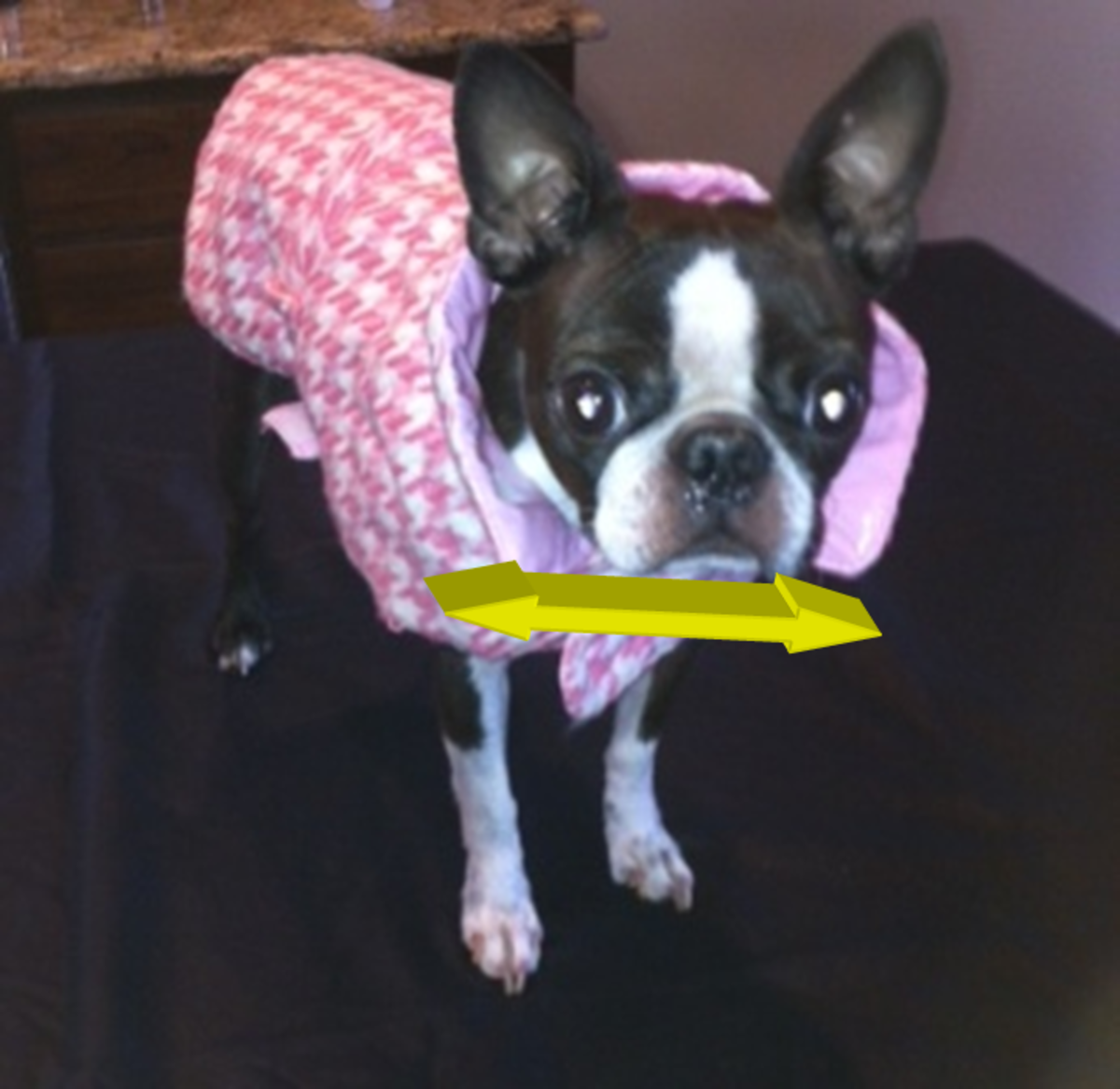 Boston terrier dogs are known for having wide chests.