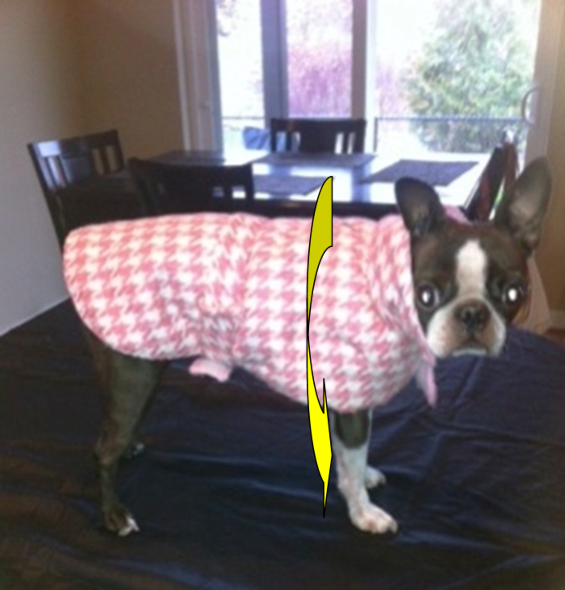 """Boston terrier dogs typically have deep chest cavities. This helps them take in large amounts of oxygen for the fast bursts of speed they are known for when they """"Zoom."""""""