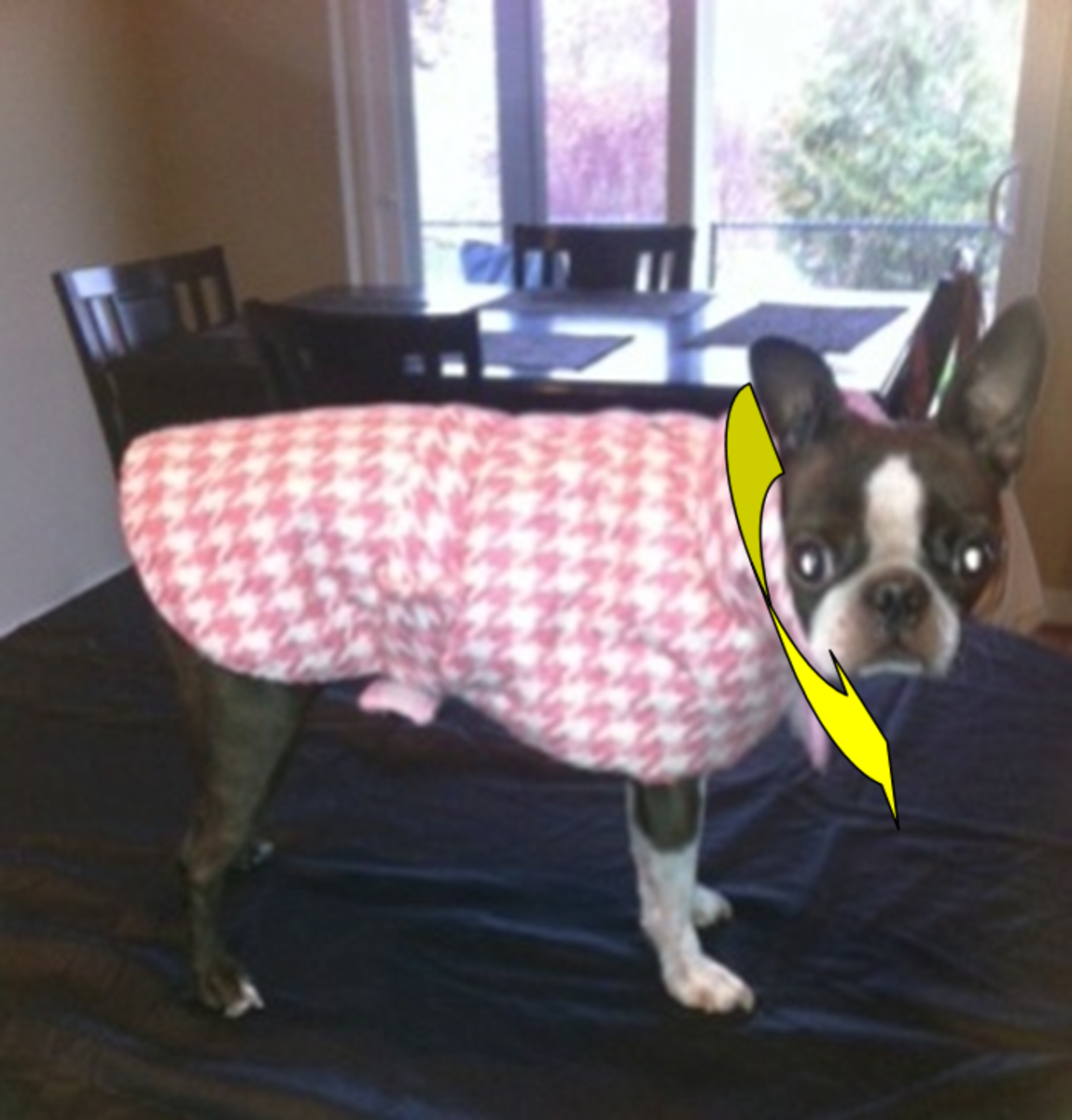 Boston terriers have short, thick necks.