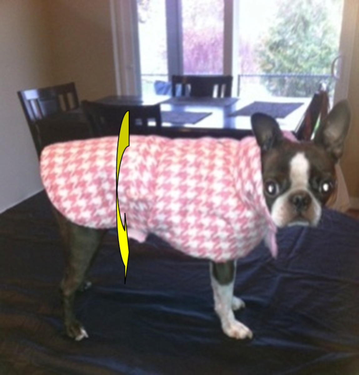 Boston terriers are known for their trim waistlines.
