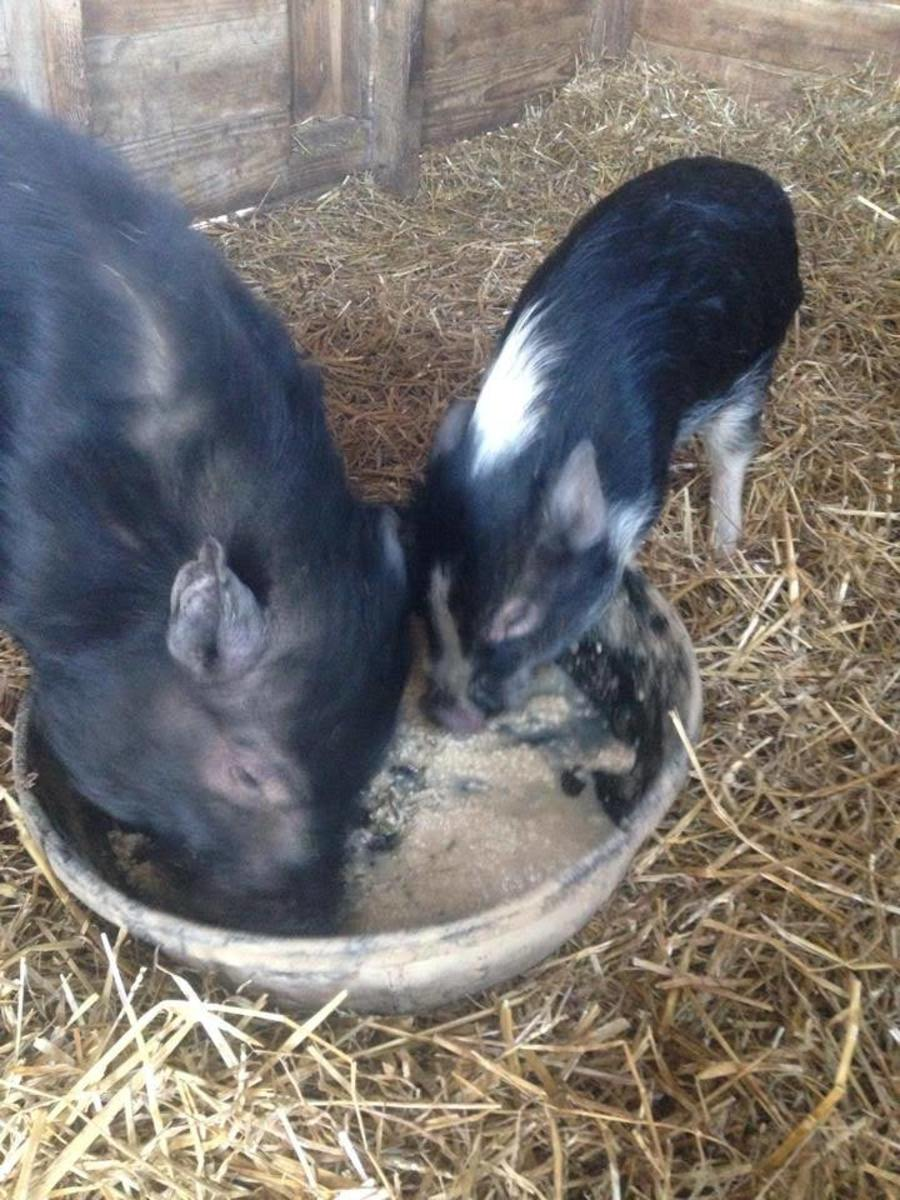 It is a big change for a piglet to go from living outdoors with his mom to being a pampered house pig. Take your time with it and set them up for success.